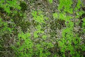 Green moss texture , Nature background.
