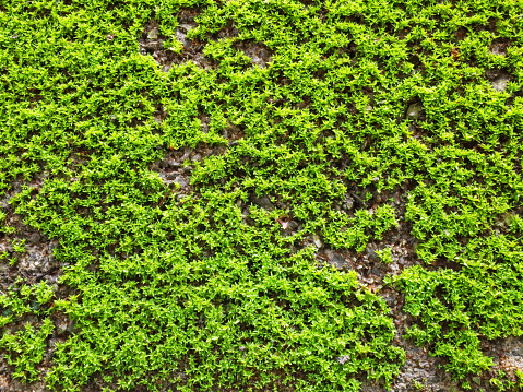 Green Moss Texture On The Cement Wall Stock Photo - Download Image Now - iStock