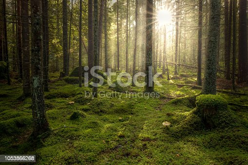 Green mossy forest with beautiful light from the sun shining between the trees in the mist. Mysterious cozy atmosphere.