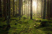 istock Green mossy forest with beautiful light from the sun shining between the trees in the mist. 1053866268