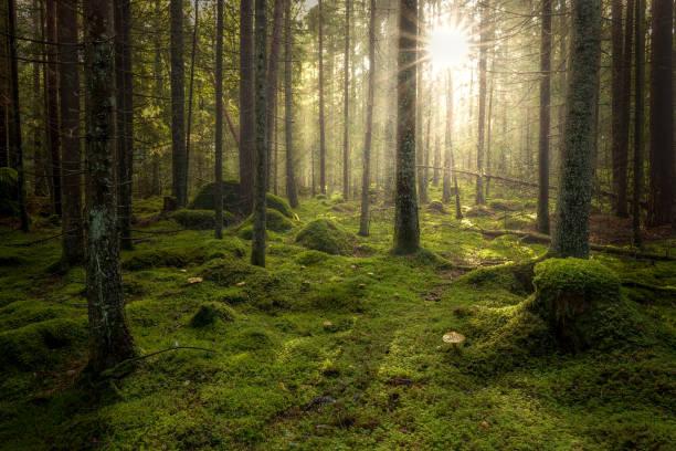 green mossy forest with beautiful light from the sun shining between the trees in the mist. - szwecja zdjęcia i obrazy z banku zdjęć