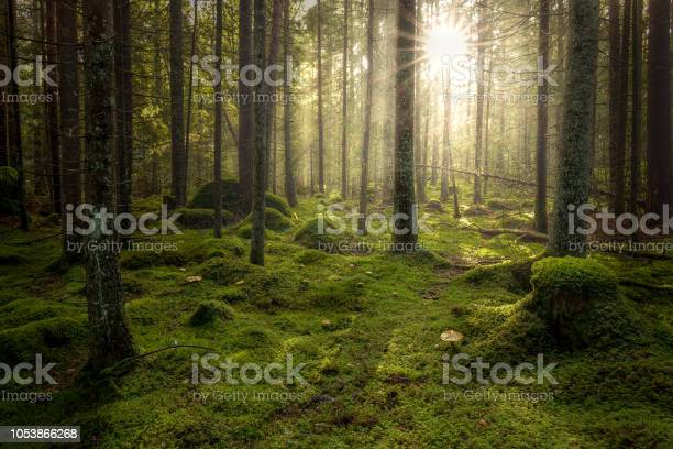 Photo of Green mossy forest with beautiful light from the sun shining between the trees in the mist.