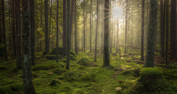 istock Green mossy forest with beautiful light from the sun shining between the trees in the mist. 1061312688