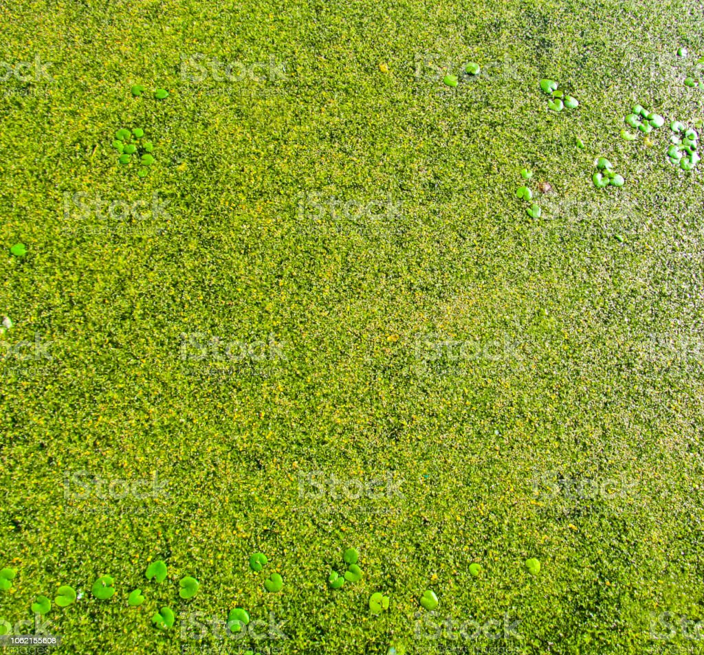 Green natural background of swamp duckweed or algae. stock photo