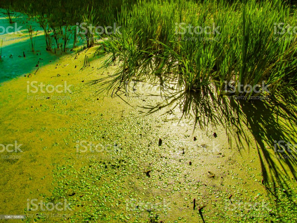 Green natural background of swamp duckweed or algae. stock photo