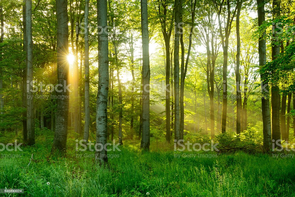 Green Natural Beech Tree Forest illuminated by Sunbeams through Fog royalty-free stock photo