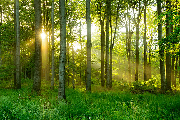 Green Natural Beech Tree Forest illuminated by Sunbeams through Fog stock photo