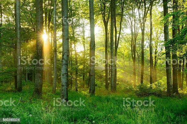 Photo of Green Natural Beech Tree Forest illuminated by Sunbeams through Fog