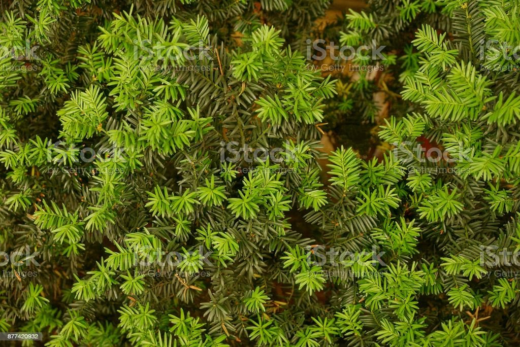 Green natural texture of coniferous tree branches stock photo