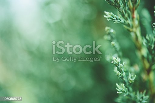 Juniper tree branches with raindrops