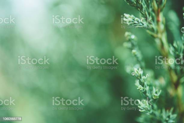Photo of Green Nature Background with Juniper Tree Branches and Raindrops