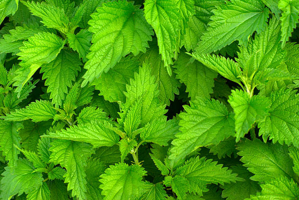 Green nettle  stinging nettle stock pictures, royalty-free photos & images