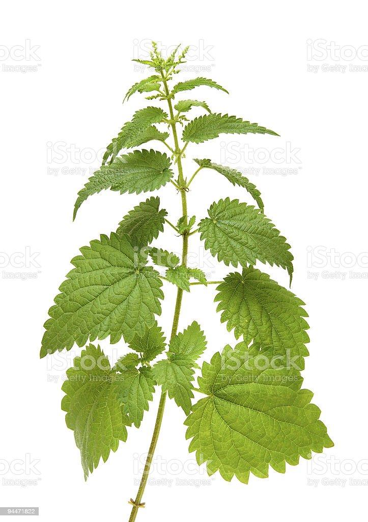 green nettle plant stock photo