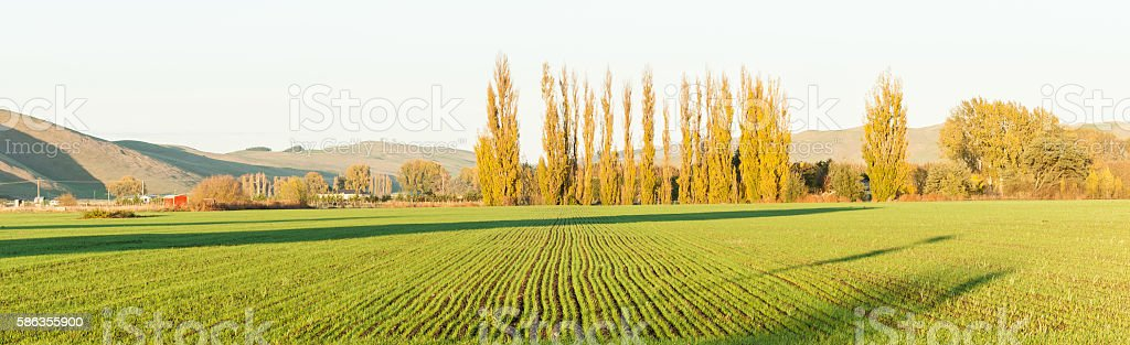 Green new shoots of crop long rows in morning sun stock photo