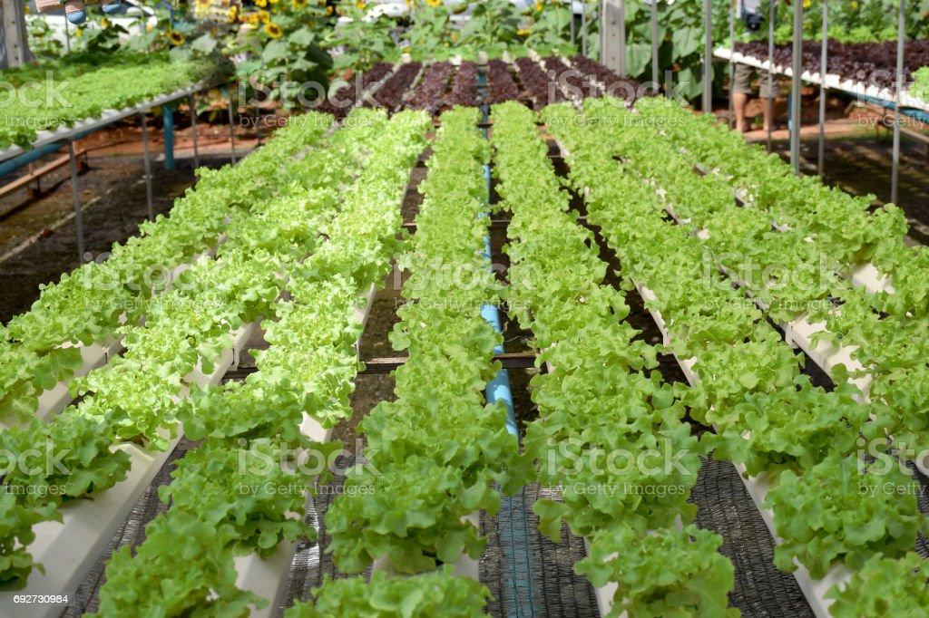 Sistema de exploração vegetal verde Carvalho hidroponia - foto de acervo