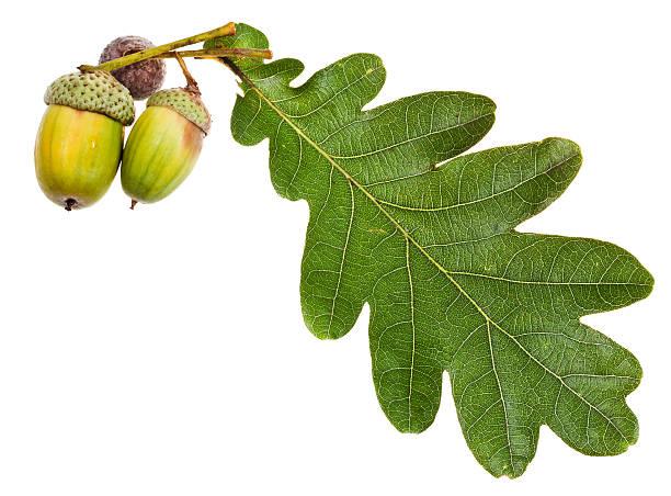grüne eiche blätter und selbst noch - eichenblatt stock-fotos und bilder