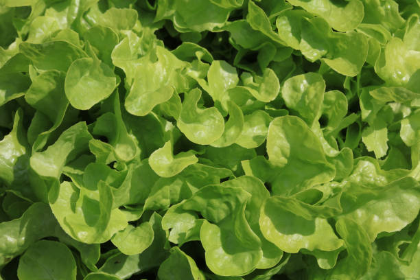 Green Oak Leaf Lettuce on the Field in Germany Green Oak Leaf Lettuce on the Field in Germany butterhead lettuce stock pictures, royalty-free photos & images