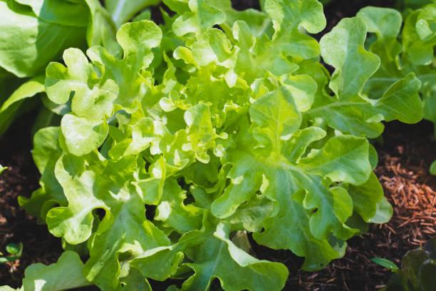 grünes Eichenblatt auf Gemüse Salat Essen Hintergrund – Foto