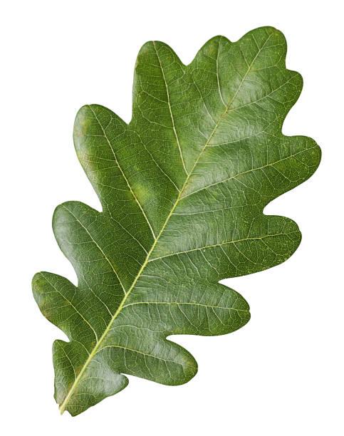 grünes eichenblatt - eichenblatt stock-fotos und bilder