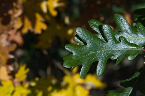 Green Oak Leaf With Yellow Leaves Fund - Otoño