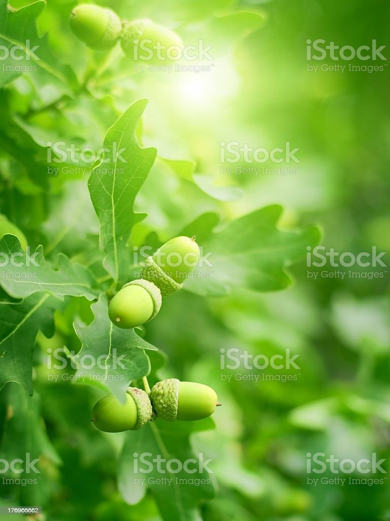 Green oak leaves and acorns stock photo