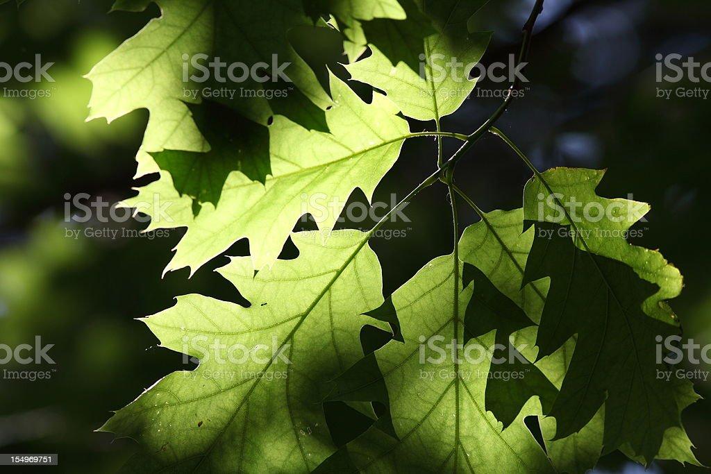 Grüne Eiche Blätter auf der Rückseite-light – Foto