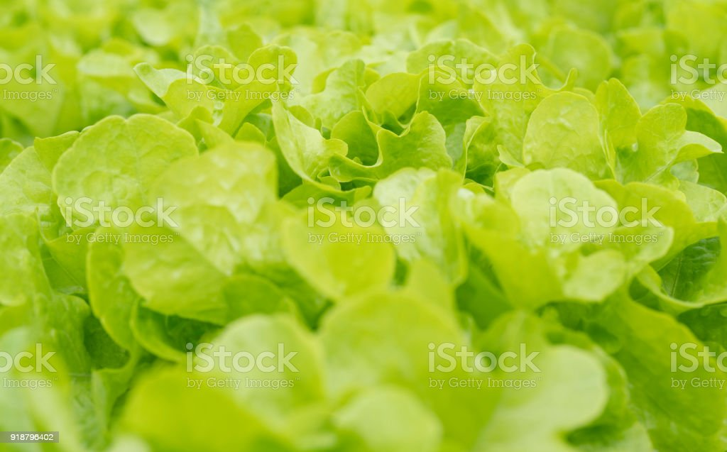 Green oak salad lettuce farm .Organic food ,agriculture and hydroponic conccept. stock photo