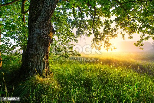 Green oak tree in the morning. Huge oak on foggy sunny background. Amazing summer landscape. Green grass and leaves in morning sunlight. Summer scene with copy space.