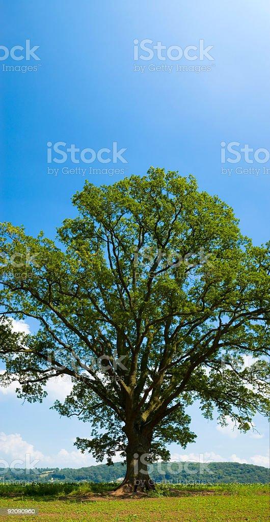 Green oak tree vertical panorama royalty-free stock photo