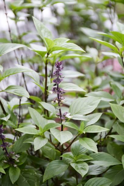 ocimum basilicum grünpflanze im garten der natur - ocimum tenuiflorum stock-fotos und bilder