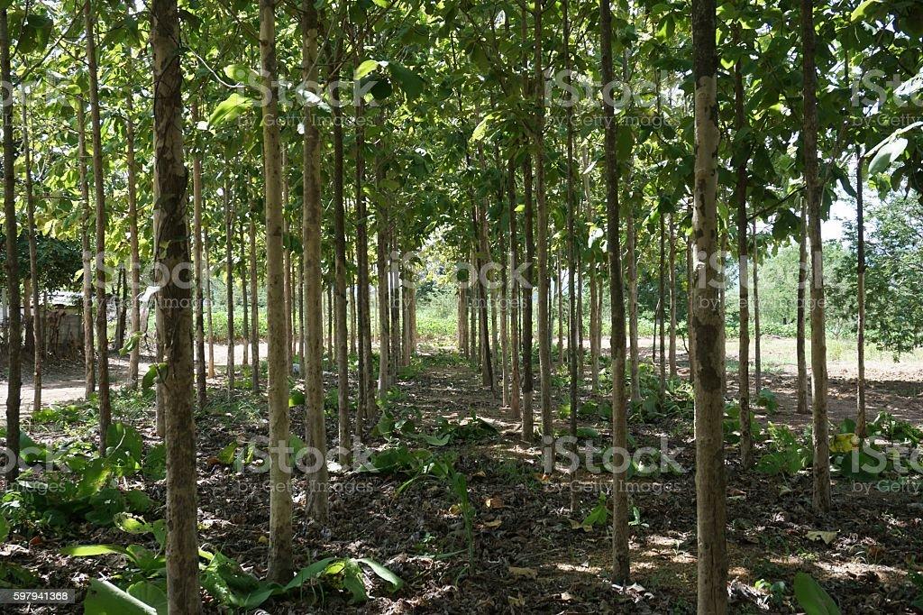green of teak plantation foto royalty-free
