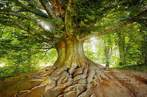 green, old tree - лесистая местность стоковые фото и изображения