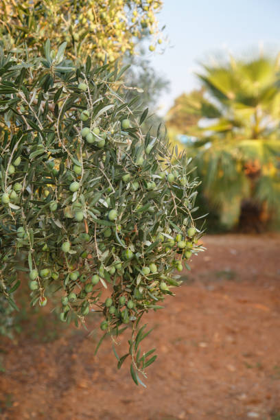 Green olive branch. Mediterranean olive garden. Summer olives tree farm. Organic fruit. New harvest. stock photo
