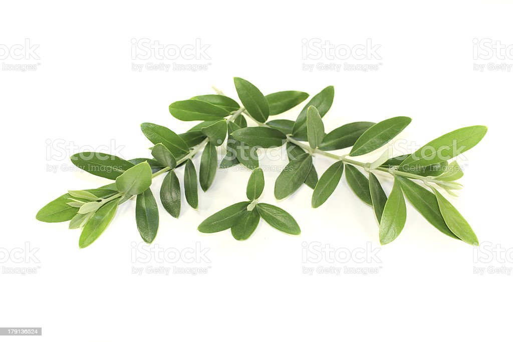 green olive branches royalty-free stock photo