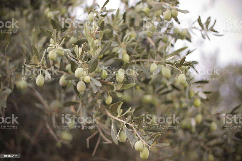 Green olive tree stock photo