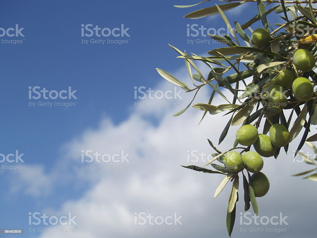 Green olives in a branch royalty-free stock photo