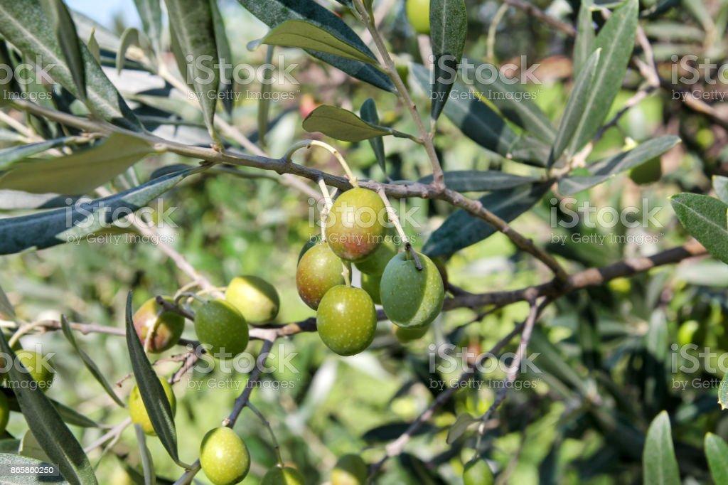 Azeitonas verdes em um ramo de Oliveira. Árvore verde-oliva com azeitonas verdes, close-up. Conceito de azeitonas, tradição. Olivicultura. Alimentação saudável. Mediterrâneo. - foto de acervo