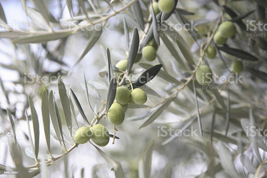 Verde aceitunas en un Olive Tree foto de stock libre de derechos