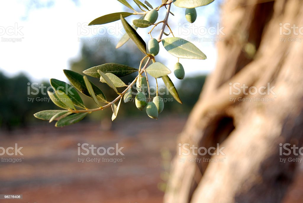 Green olives on branch and tree in background royalty-free stock photo