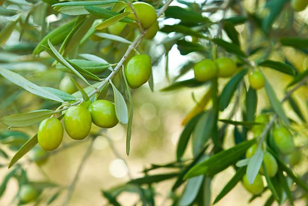 olive verdi - ramoscello d'ulivo foto e immagini stock