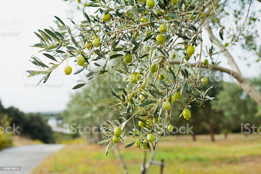 Green Olives Tree - Photo