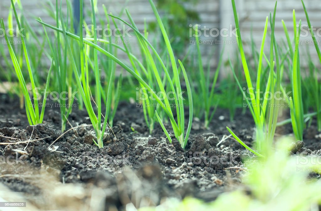 Green onion beds in the rural sunny garden in the summer. Healthy ecological harvest. royalty-free stock photo