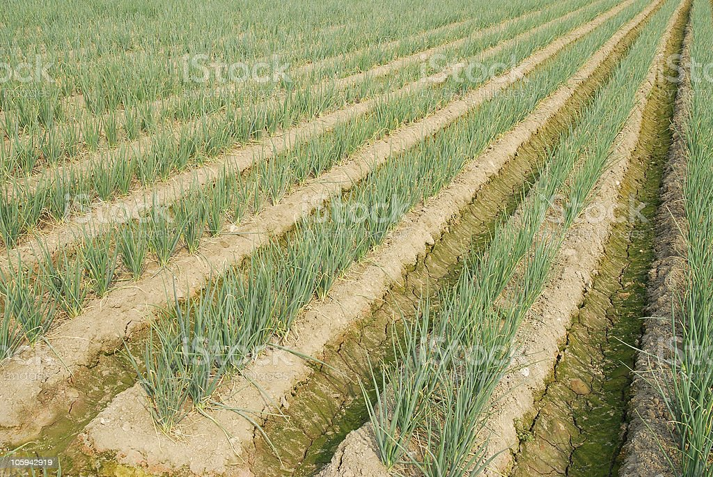 Green onion farm. royalty-free stock photo