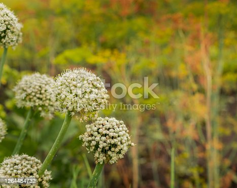 Green onion flowers. Vegetable seeds. Agriculture. Copy space.