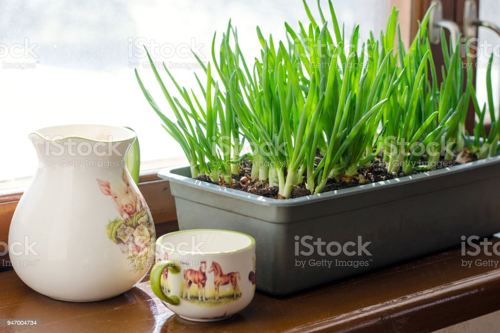 Green onion growing in the box on the window. DIY. The concept of healthy organic food. Non-GMO. stock photo