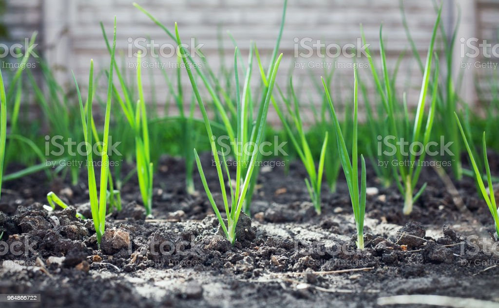Green onion grows in the rural sunny garden in the summer. Healthy ecological harvest. royalty-free stock photo