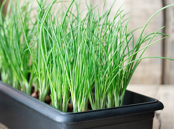 green onion - bosui stockfoto's en -beelden
