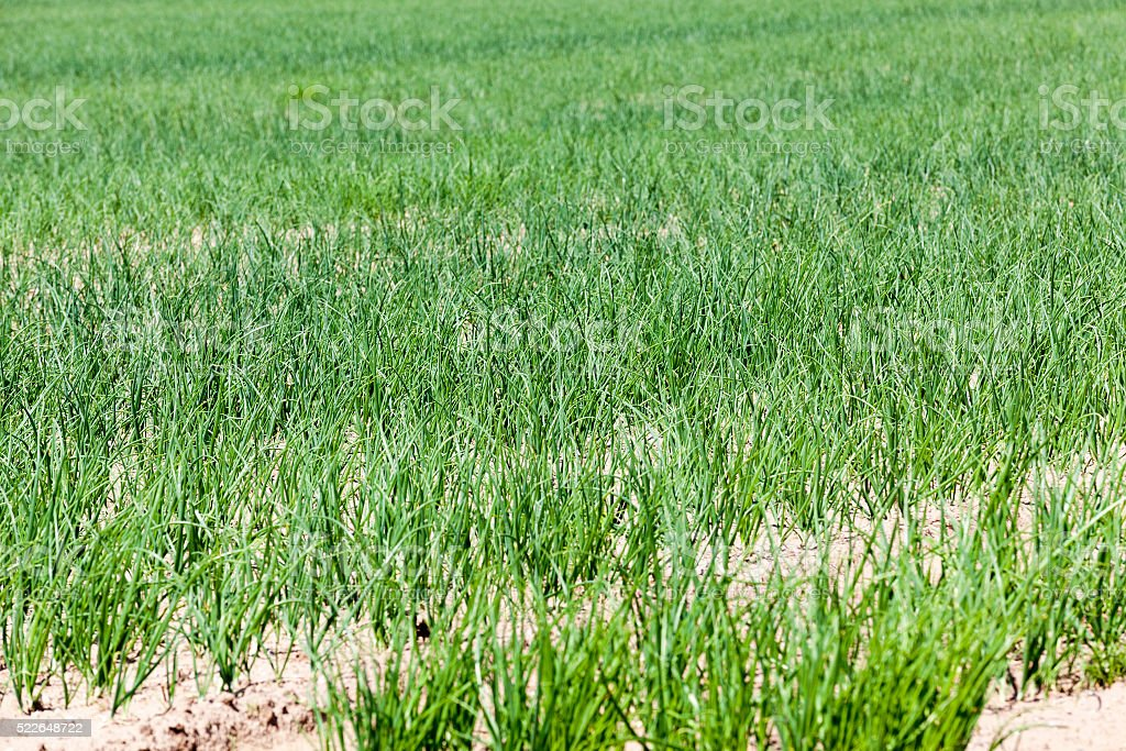 green onions in the field stock photo