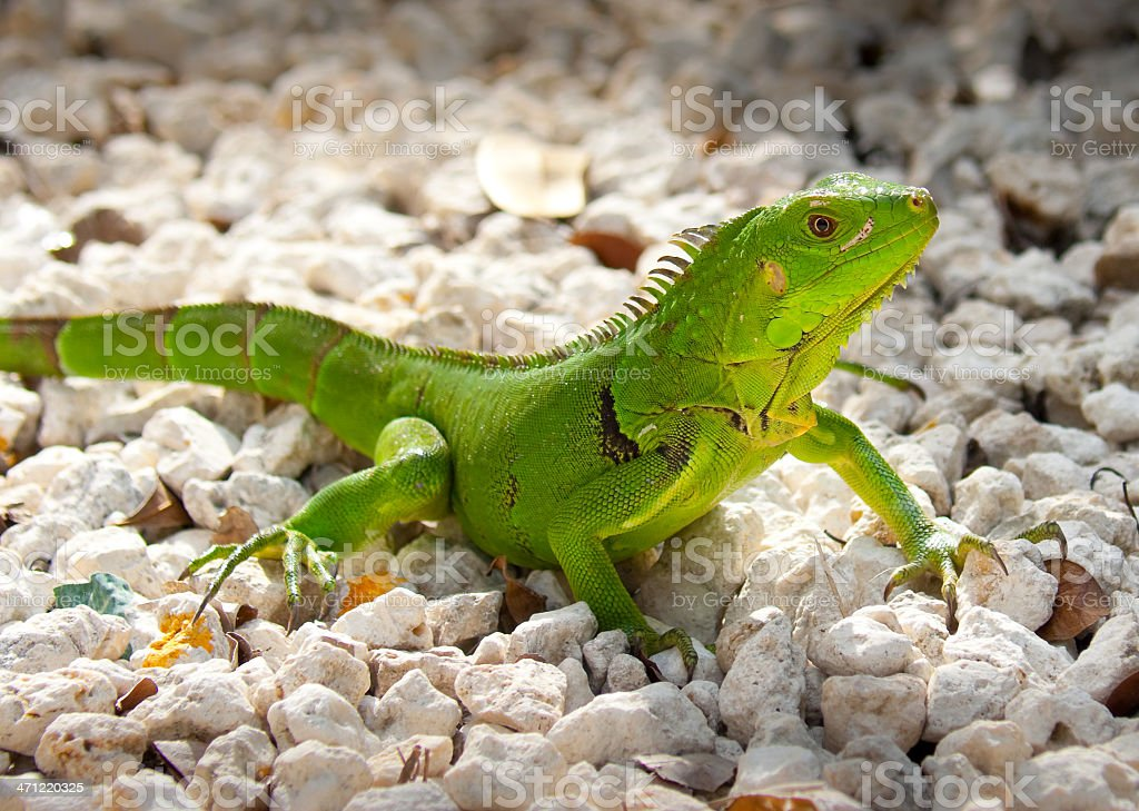 Green or Common Iguana royalty-free stock photo