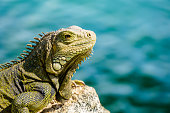 A green or common Iguana set against a plain out of focus background.